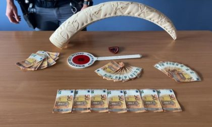 Una zanna di elefante in casa, arrestato un uomo