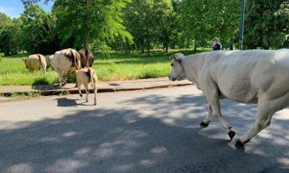 Mucche invadono la strada, intervengono i vigli