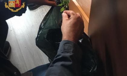 Produceva la marijuana in casa e la nascondeva tra i libri del suo negozio