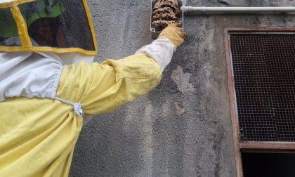 Nidi di calabroni pericolosi: doppio intervento a Sciolze e Gassino