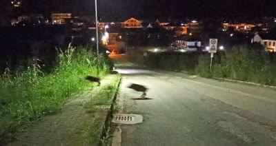Ora i  cinghiali «minacciano» il centro abitato: attaccato un cane a Bardassano