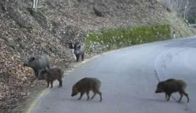 Torna l'allarme per cinghiali e lupi