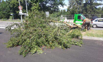 Cade una pianta in via della Fornace, intervengono i volontari Aib