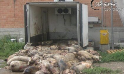 Allevamento teneva carcasse di maiali nelle stalle e le dava come cibo agli altri animali